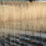 grasses and reflections