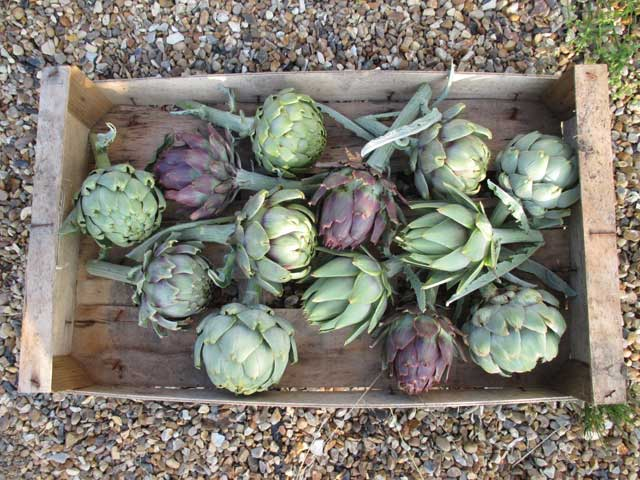 green and purple artichokes
