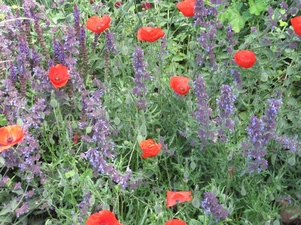 poppies and nepeta on a summer's evening