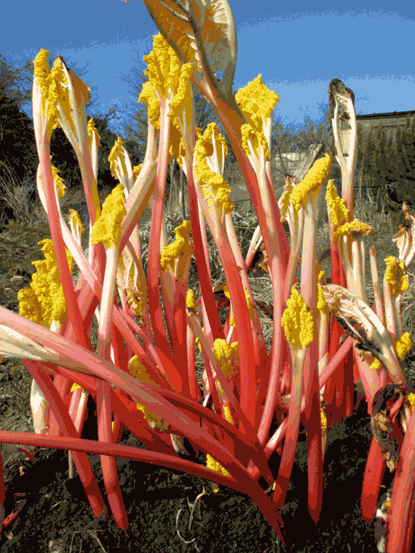 forced rhubarb from the allotment
